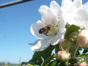 Bi som pollinerar