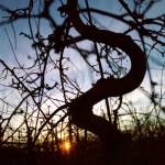 Solnedgång-bland-gamla-Aroma